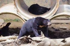солнце медведя malayan Стоковая Фотография