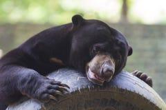 солнце медведя malayan Стоковые Фотографии RF
