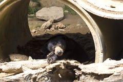 солнце медведя malayan Стоковое Фото