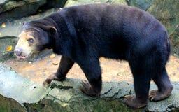 солнце медведя malayan Стоковые Фото