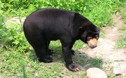 солнце медведя malayan Стоковые Изображения