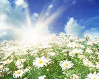Солнце на луге маргариток Стоковые Изображения RF