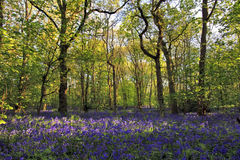 Солнце освещает тени отливки через древесины Bluebell, древесины Northamptonshire Badby стоковые изображения