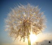Солнце одуванчика, макрос Стоковые Фото