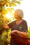Солнце после полудня яблок рудоразборки женщины Стоковые Изображения RF