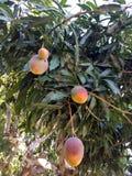 Солнце расцеловало манго Hayden отличающихся размеров висит от дерево Стоковая Фотография