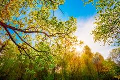 Солнце светя через сень высокорослых дубов Стоковые Изображения RF