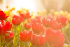 Солнце тюльпанов весной стоковое фото