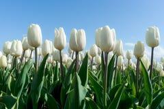 Солнце тюльпанов весной. Стоковая Фотография