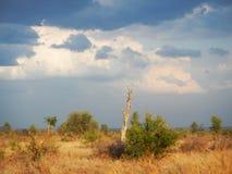 Солнце установило в глубокую саванну, bushveld kruger, национальный парк Kruger, ЮЖНУЮ АФРИКУ Стоковая Фотография