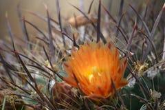 Солнце утра на цветени кактуса бочонка Стоковые Изображения
