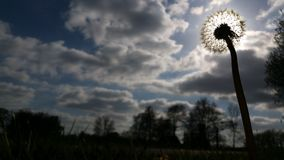 Солнце уловленное одуванчиком Стоковые Фотографии RF