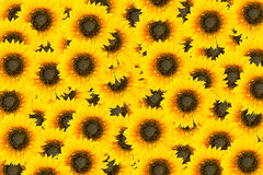 Солнце цветет плитки Стоковое Изображение RF