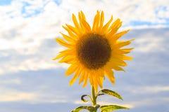 Солнце цветка крупного плана лета солнцецветов красивое желтое Стоковые Изображения