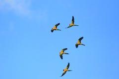 солнце solstitialis parakeet conure aratinga Стоковая Фотография RF