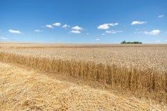 Солома перед зрелым пшеничным полем стоковые изображения rf