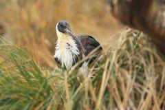 Солома-necked ibis Стоковое Изображение