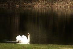 Сольный лебедь Стоковое Изображение