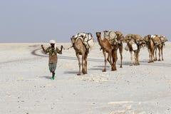 Соль нося каравана верблюдов в пустыне ` s Danakil Африки, Эфиопии Стоковая Фотография