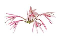 спайдер гигантской половинной лилии цветков открытый Стоковое фото RF