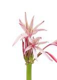 спайдер красивейшей лилии цветков таланта гигантской открытый Стоковое фото RF