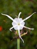 спайдер лилии стоковое фото