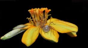 Спайдер на цветке стоковая фотография
