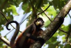 спайдер обезьяны Стоковая Фотография