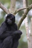спайдер обезьяны Стоковая Фотография RF