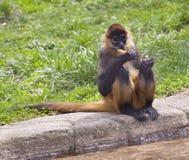 спайдер обезьяны Стоковые Изображения RF