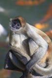 спайдер обезьяны Стоковые Изображения