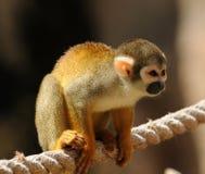 спайдер обезьяны Стоковое Фото