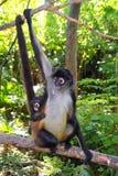 спайдер обезьяны geoffroyi ateles америки центральный Стоковые Фото