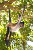 спайдер обезьяны geoffroyi ateles америки центральный Стоковая Фотография RF