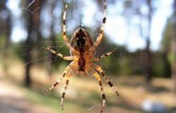 спайдер паутины перекрестный Стоковое Изображение RF