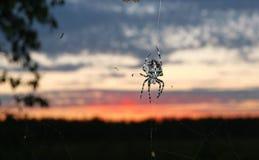 Спайдер сада (diadematus Araneus) Стоковое фото RF