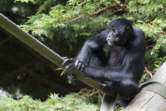 спайдер paniscus обезьяны ateles черный Стоковые Фото