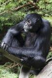спайдер paniscus обезьяны ateles черный Стоковая Фотография