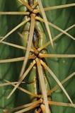 спайки кактуса Стоковые Изображения RF