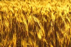 спайки поля золотистые стоковое изображение rf