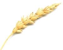 Спайк пшеницы стоковая фотография