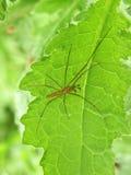 Спайдер на листьях Стоковое Изображение RF
