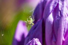 Спайдер на сети паука Стоковое Изображение RF