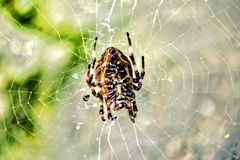 Спайдер на сети паука Стоковое Изображение