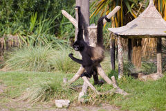 спайдер обезьяны Стоковое Изображение