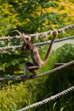 спайдер обезьяны marimonda Стоковое фото RF