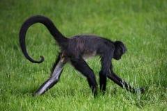 спайдер обезьяны s geoffroyi ateles geoffroy Стоковые Фотографии RF