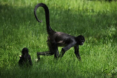 спайдер обезьяны s geoffroyi ateles geoffroy Стоковая Фотография RF