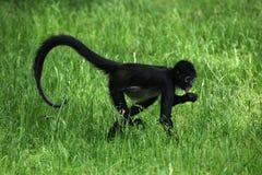 спайдер обезьяны s geoffroyi ateles geoffroy Стоковые Изображения RF