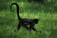 спайдер обезьяны s geoffroyi ateles geoffroy Стоковое Изображение RF